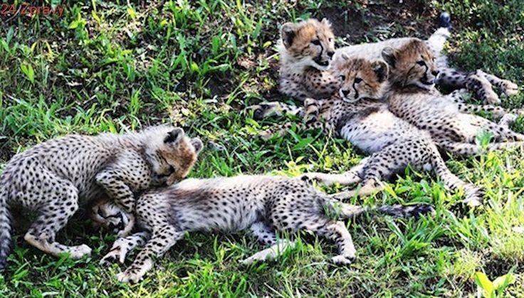 Gepardí paterčata dostala jména, o víkendu je pokřtili v pražské zoo
