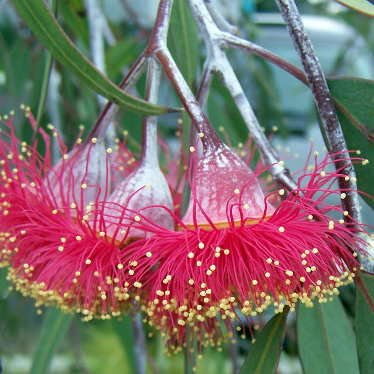EUCALYPTUS. Native to Western Australia,