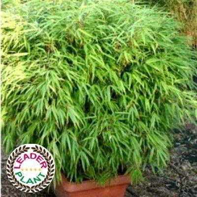 Le Bambou Fargesia Rufa : un bambou non traçant polyvalent      LeBambou Fargesia 'Rufa'possède le Label Leaderplant. C'est une variété deBambou Fargesia Murielaesélectionnée en Chine. Ce bambou pousse en touffes denses qui peuvent atteindre un diamètre de 80cm à 1m en quelques années.C'estla variétédeBambou fargesialaplus populaire pour les créations dehaie de Bambousbrise-vue.Sa hauteur est de 2-3m.     Sans rhizomes, c'est à dire sans tiges sou...
