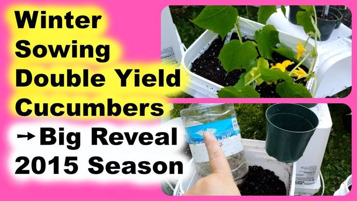 Can You Grow Cucumber Seedlings in the Snow? Winter Sowing Seedling Big ...