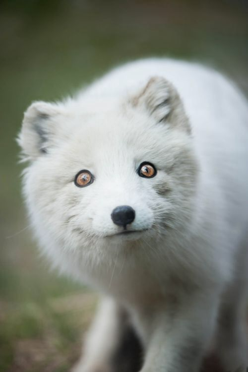 Arctic Fox by Justin Lo Photography