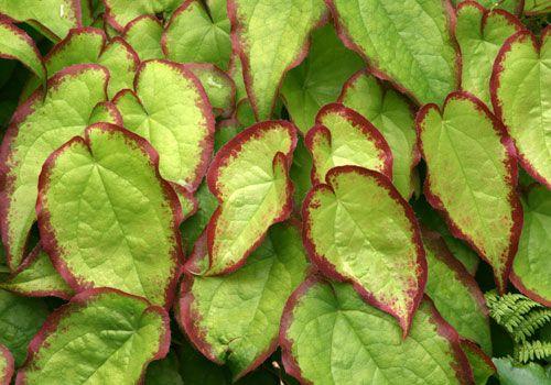 Epimedium sempervirens 'Cherry Heart'
