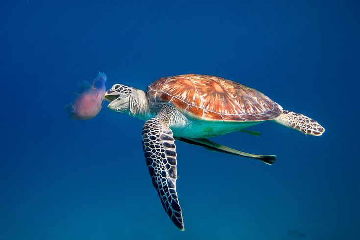 Green Sea Turtle eating Jellyfish - Dimakya, Philippines | Flickr - Photo Sharing!