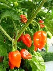 How To Grow Habanero Pepper    By Bonnie L. Grant      Gardeners with a taste for spicy food should try to grow one of the hottest peppers, the habanero. Growing habanero peppers requires bright sun, warm temperatures and well-drained soil. These small green to red peppers measure 100,000 to 445,000 on the Scoville scale, which is a method of measuring the levels of capsicum, or spice, in peppers.    The habanero plant grows best when purchased or .......