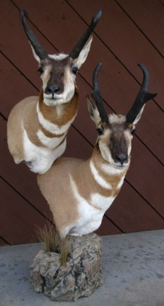 Antelope Antelope Mounts In 2019 Taxidermy Decor