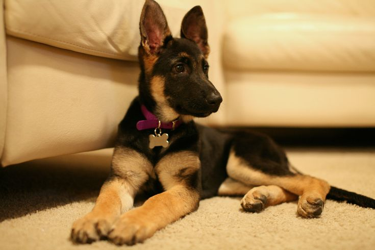 All about Purebred German Shepherd Puppies – Dog Training Blog
