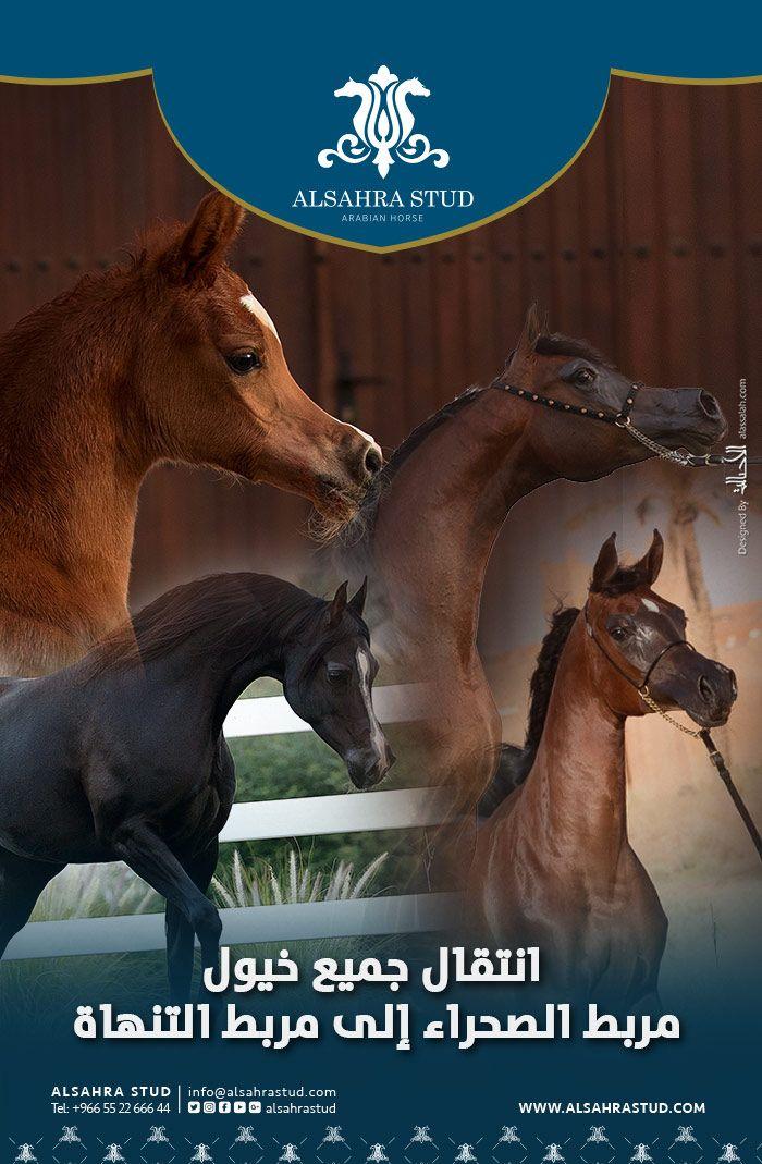 انتقال جميع خيول مربط الصحراء إلى التنهاة Horses Arabian Horse Animals