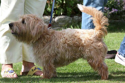 Sporting Lucas Terrier by rileyfarm&country, via Flickr
