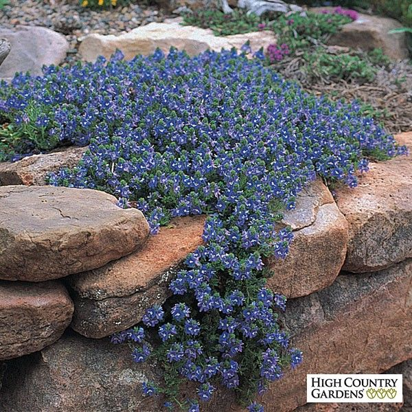 Wooley Speedwell is one of our finest xeric groundcovers. Growing with long stems of wooly evergreen foliage, the plants cover themselves with blue aging to lavender-blue flowers in early to mid-spring.