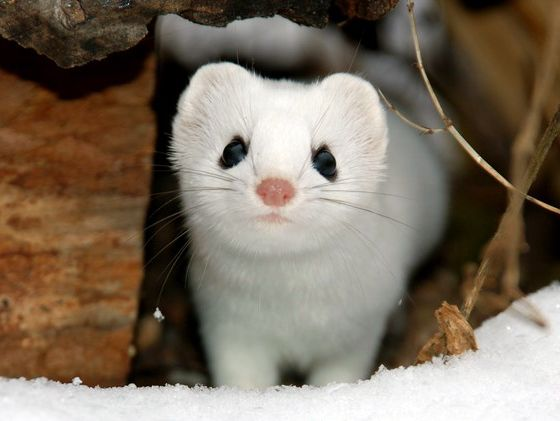 ferret!Minnesota, Ferrets, National Geographic, Pets, White, Winter Coats, Snow Weasel, Beautiful Creatures, Animal