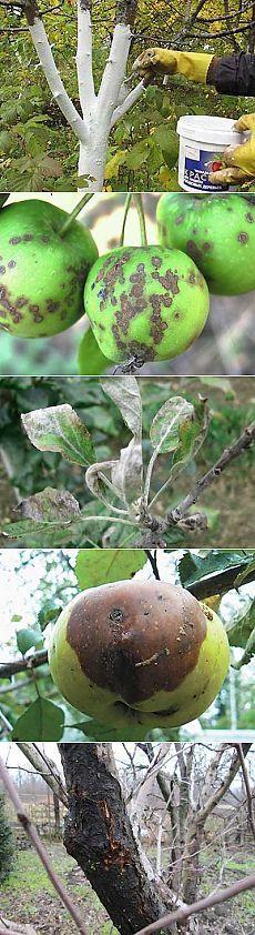 Болезни яблонь и их лечение | Мое подворье