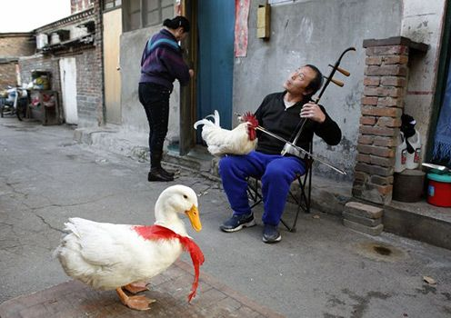 Xu Guoxing plays a traditional two-stringed Chinese fiddle with his pet rooster and duck in front of his home in a hutong area in Beijing