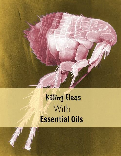 Killing fleas with essential oils. Why we use these natural substances, instead of toxic chemicals, on our 14-year-old dog. Throughout his life, we've tried to keep him away from toxins of all types.
