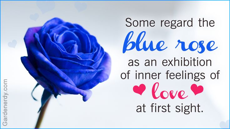 Symbolic Meaning of Blue Roses That'll Leave You Stupefied