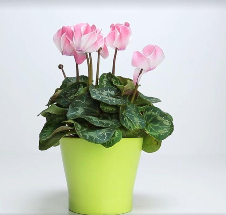 Solan çiçekleri canlandırmak için doğal gübre yapımı