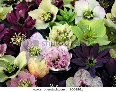 Hellebores. My Favorite Shade Plant.