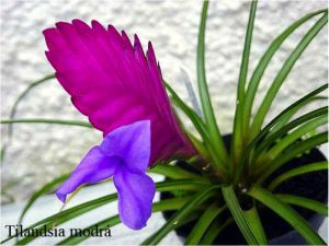 plantas-ornamentais-tilandsia