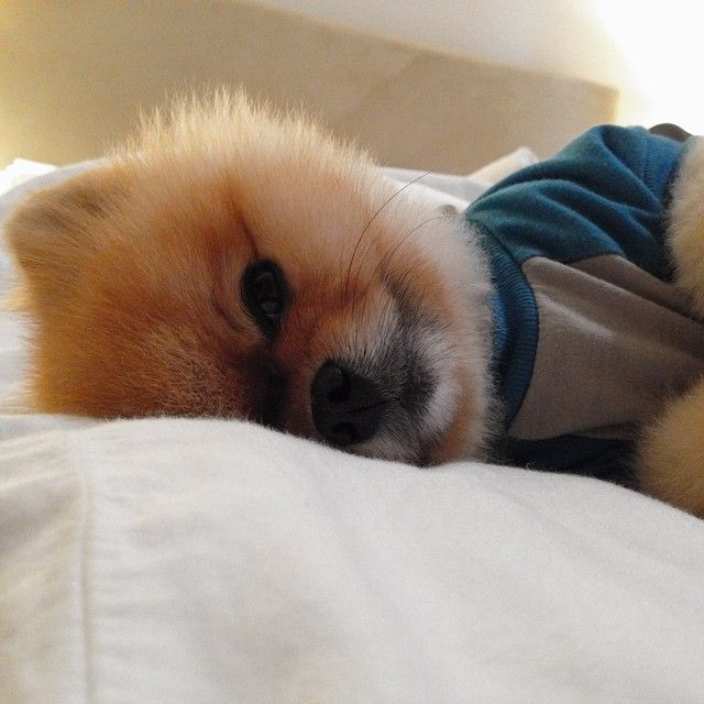 Best JIFFPOM Images On Pinterest Cute Things And Rabbit - Jiff the pomeranian is easily the best dressed model on instagram
