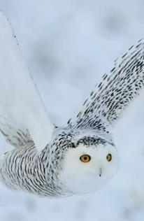 Kar Baykuşu Avlanma Belgeseli İzle