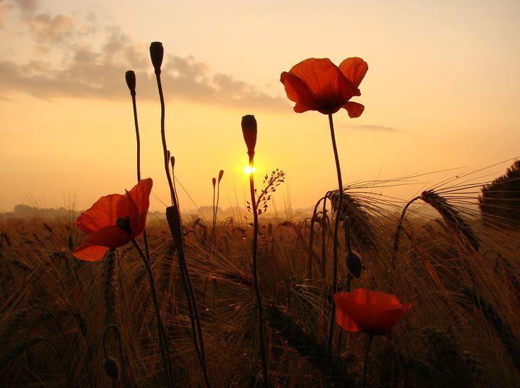 """Joachim Siewert - """"Mohn im Sonnenuntergang"""".  Hier gehts zur Gesamtübersicht: http://pxm.li/6ryCDE  #Mohn #Blume #Rot #Sommer #Foto"""