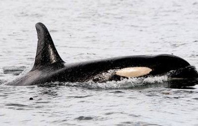 Luna the Killer Whale Hits the Big Screen! Ryan Reynolds To Produce And Narrate Documentary