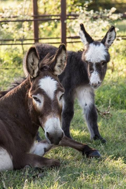 Mom, Athena with her carbon copy daughter.     Courtesy: Satroma Ranch Miniature Donkeys, Texas (USA).