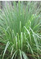 Lemon Grass - East Indian - Cymbopogon flexuosus