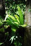 Paku Sarang Burung (Asplenium nidus)