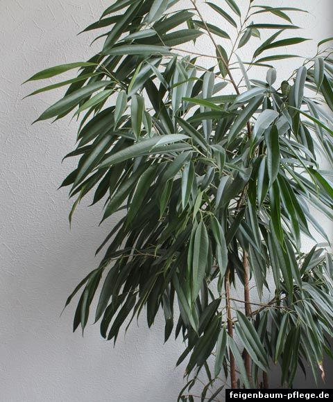 Ficus binnendijkii - langblättrige Feige (Hell bis sonniger Standort, Erde vorm Gießen an- aber nicht austrocknen lassen, kuhl bis Zimmertemperatur)