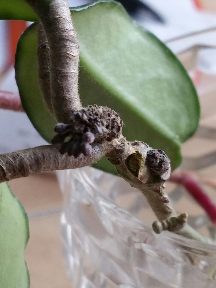 Hoya slip in water rooting. But looks like it is going to bloom before I plant it.