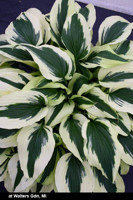 Hosta 'Ice Follies' is a probable tetraploid mutation of the old standard, Hosta 'Antioch'. Hosta 'Ice Follies' is much smaller than its parent, forming a small 1' tall x 2' wide clump of pointed green leaves, with a very wide border that emerges gold and ages to cream.
