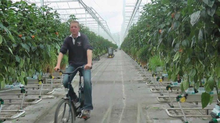 #mooifilmpje van fabrikant Koppert (@KoppertNL) over het gebruik van roofmijt Swirski in #paprika #biologischebestrijding