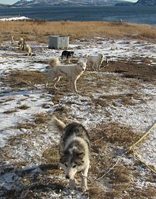 Labrador Husky - Canada - Bred for work as a very strong, fast sled dog