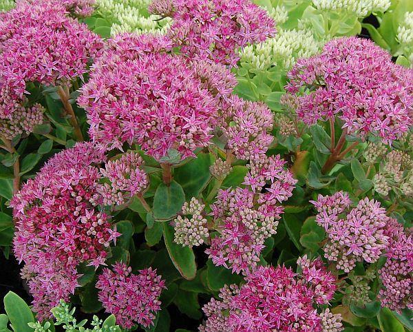Fetthenne Jpg 600 482 Balkon Blumen Pflanzen Garten Pflanzen
