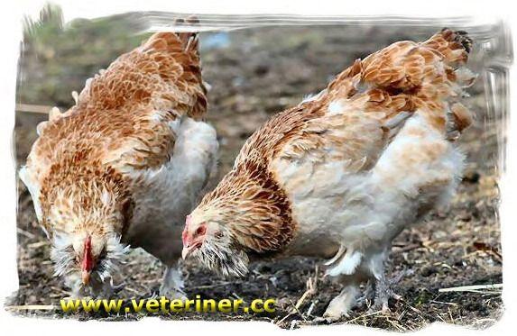 Veteriner.CC - Tavuk Yetiştirciliği
