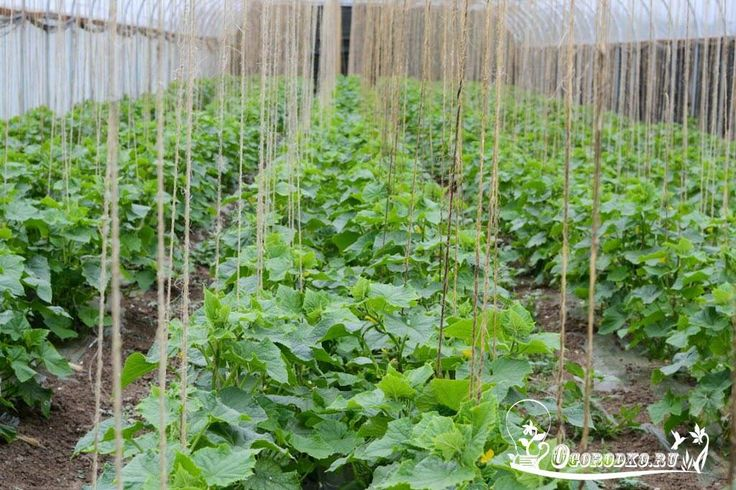 КАК СДЕЛАТЬ КАЖДЫЙ ГОД ОГУРЕЧНЫМ    При перекопке вносим компост (4–5 кг на 1…