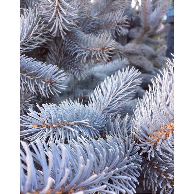 Spruce up your life with the things you love! Taken at one of my favorite places Behnke Nursery. #Bluespruce @behnkenurseries  #blue #spruce #tree #nature #pine #winter #plants #plantlife #plantpower #nursery #md