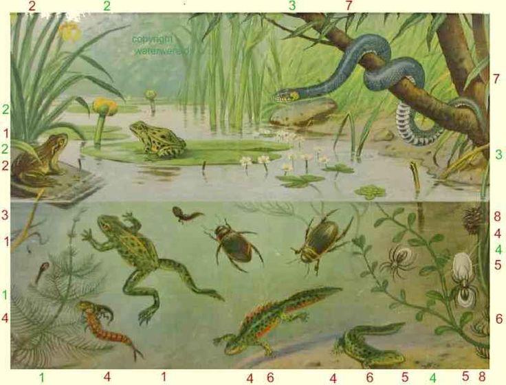 Google Afbeeldingen resultaat voor http://www.waterwereld.nu/images/koekkoek5.jpg
