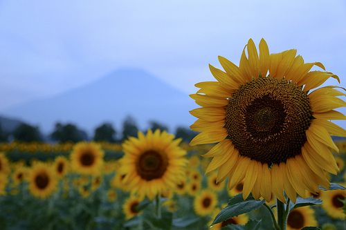 Sunflowers and Mt. Fuji | @ Lake Ymanaka Area 花の都公園 | Flickr