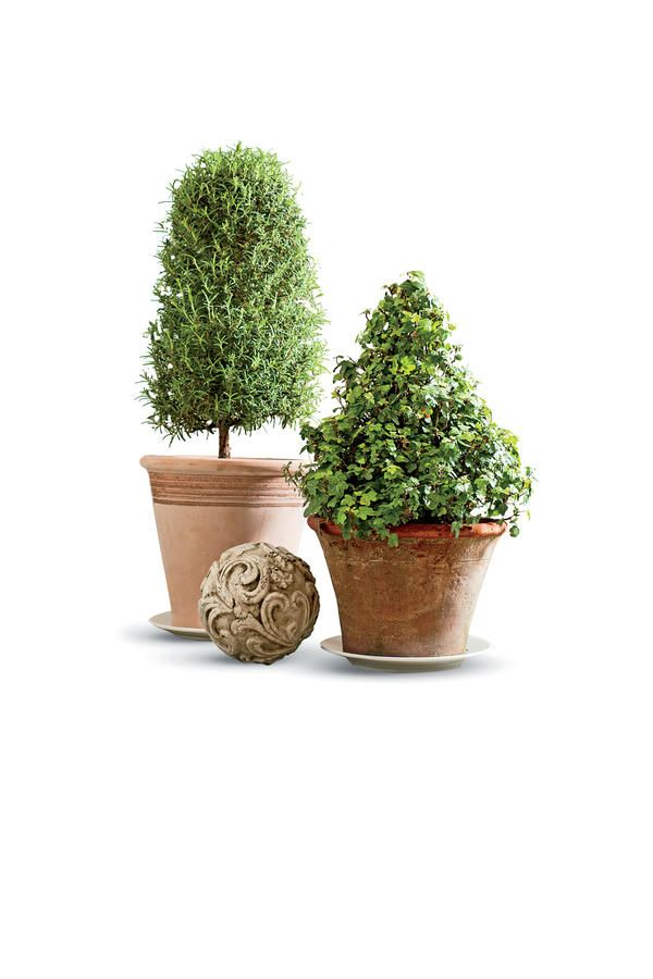 Try a Rosemary Topiary - Potted Topiary Trees for Winter - Southernliving. Rosemary prefers to live outside but can last the winter indoors. Bright light and good drainage are musts. Allow plants to dry out slightly between waterings, and don't let them stand in saucers of water. Good air circulation and cool nights lessen pest problems. Move them outside as soon as all chance of frost has passed. Feed once in late spring with a controlled-released fertilizer such as Osmocote.