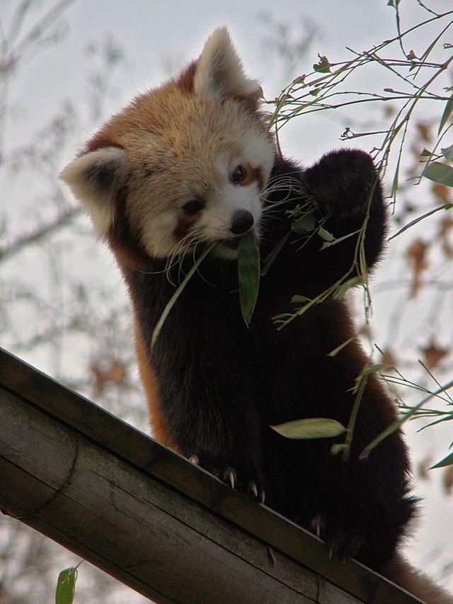 Existe um Outro Panda, Ainda Mais Adorável!
