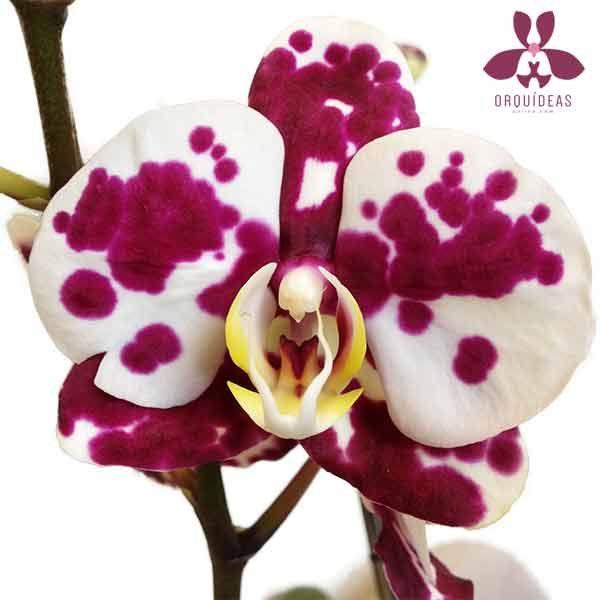 Orquídea Assanti en  Orquídeas Online