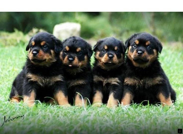 Pin By Holly Robin On Rottweiler In 2020 Rottweiler Dog