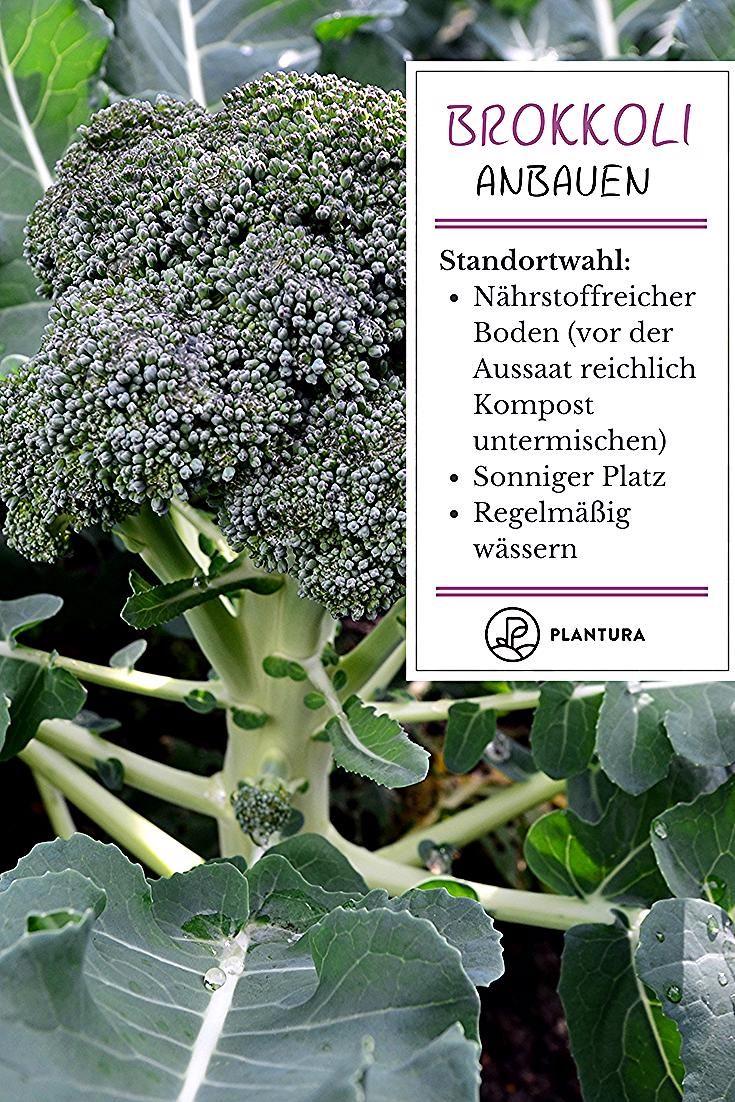 Brokkoli Lasst Sich Leicht Im Eigenen Garten Anbauen Bei Plantura Geben Wir Tipps Zur Aussaat Zum Richtigen Stand Growing Broccoli Cabbage Plant Ginger Plant