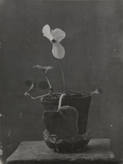 constantin brancusi. cyclamen, 1933-34