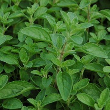 Sweet Marjoram | Sweet Marjoram Plants | Buy Sweet Marjoram Herbs | The Growers Exchange