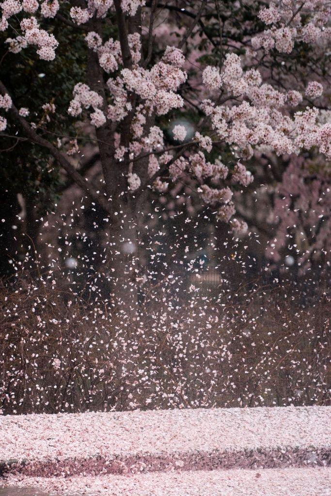 Cherry Blossoms Spring Festival Cherry Blossom Peak Bloom Washington Dc Tidal Basin Nps National Park Service C Bunga Sakura Bunga Eksotis Objek Gambar