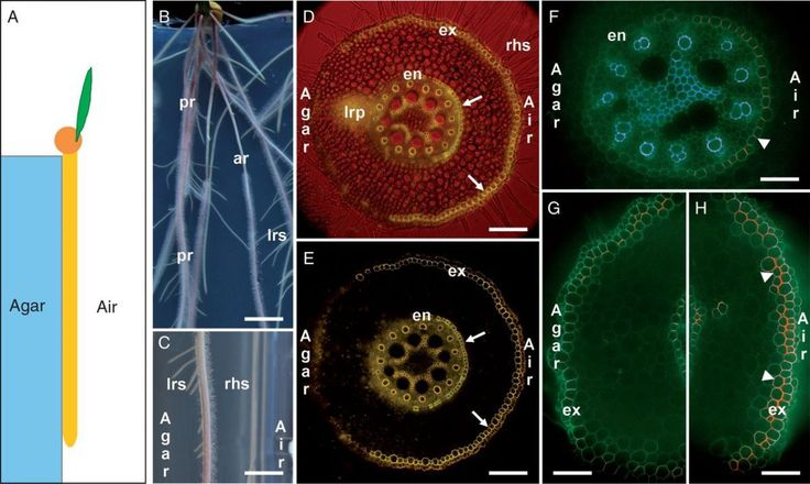 Roots can develop resilience and protective barriers to drought and cadmium-induced (Cd) stress. Líška et al. study the ways in which the vascular tissues of roots develop characteristics to mitigate the effects of local abiotic stressors.   Maize primary root (Zea mays L. hybrid Reduta) exposed to unilateral treatment by drought (Air) and attached to wet agar-solified MS medium (Agar) on the other side. See Líška et al. (2016) for full details. They report that contact with air or with…
