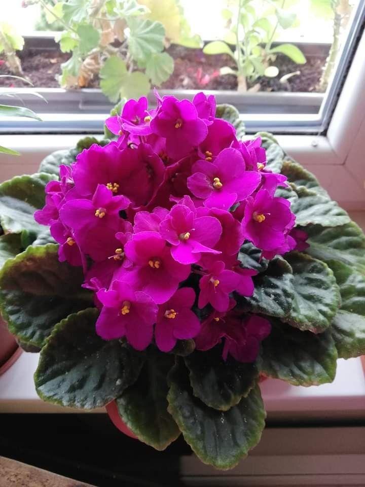 Pin De Lucila En Kvety Flowers Violeta Africana Flores Africanas