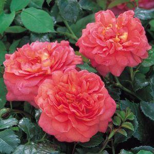 ТрояндаChristopher Marlowe названа на честь драматурга, поета і сучасника В. Шекспіра Крістофера Марлоу.Кущова англійська трояндаChristopher Marlowe - троянда, що привертає до себе увагу. Почнемо з опису квітки. Загальний вигляд квітки сильно схожий на Старовинні троянди -...